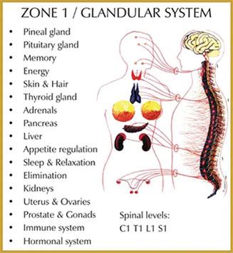 Chiropractic Durham NC Zone 1